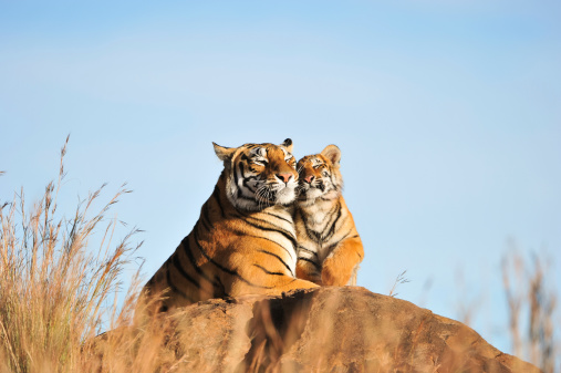 An affectionate tiger moment 502382351