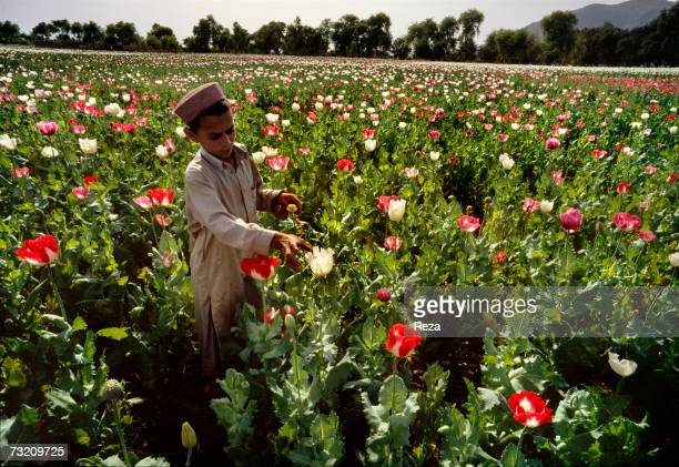 An Afghan boy checks a blooming flower in a cultivated opium poppy field on April 2004 in the Pashtun tribal zone on the Afghanistan side of the...