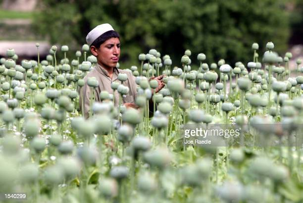 An Afghan child cuts into a poppy bulb to extract the sap which will be used to make opium in a field May 6 2002 in the village of Markhanai in the...