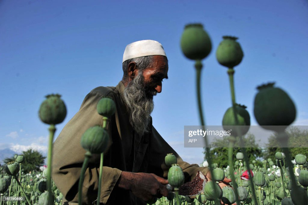 An Afghan farmer collects raw opium as he works in a poppy field in Khogyani District of Nangarhar province on April 29, 2013. Poppy cultivation is expected to increase in both eastern and western provinces of the country, though will remain at a much lower level of cultivation as compared to Helmand and Kandahar provinces, the United Nations office on Drugs and Crimes (UNODC) said in its 2012 report. AFP PHOTO/ Noorullah Shirzada