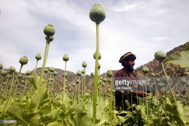 An Afghan farmer cuts into a poppy bulb to extract the sap which will be used to make opium in a field May 6 2002 in the village of Markhanai in the...
