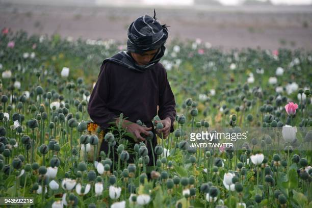 An Afghan farmers harvests opium sap from a poppy field in Zari District in Kandahar province on April 9, 2018. The US government has spent billions...