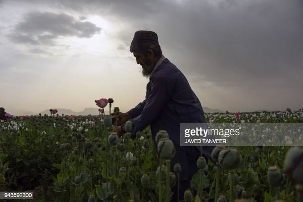 TOPSHOT An Afghan farmers harvests opium sap from a poppy field in Zari District in Kandahar province on April 9 2018 The US government has spent...