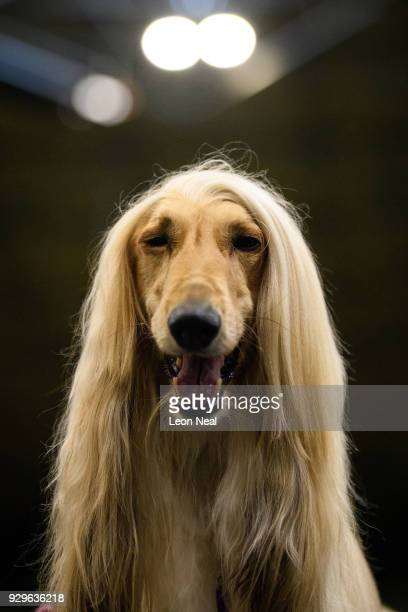 An Afghan Hound is groomed ahead of competition on day two of the Cruft's dog show at the NEC Arena on March 9 2018 in Birmingham England The annual...