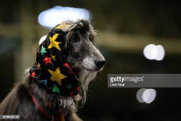 An Afghan Hound prepares to be groomed ahead of competition on day two of the Cruft's dog show at the NEC Arena on March 9 2018 in Birmingham England...