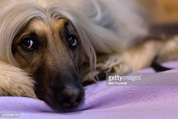 An Afghan Hound rests on a bench on the final day of Crufts 2016 on March 13 2016 in Birmingham England First held in 1891 Crufts is said to be the...