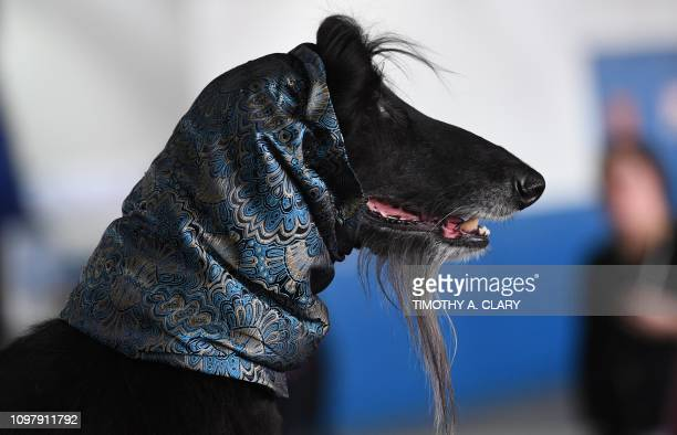 An Afghan Hound waits in the benching area during the Daytime Session in the Breed Judging across the Hound Toy NonSporting and Herding groups at the...