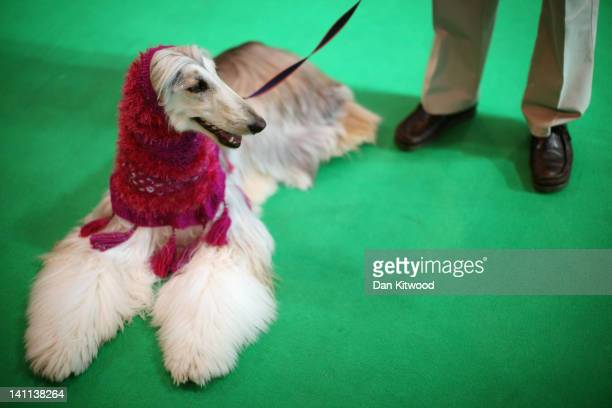 An Afghan Hound waits to be judged in the ring during the fourth and final day of Crufts at the Birmingham NEC Arena on March 11 2012 in Birmingham...