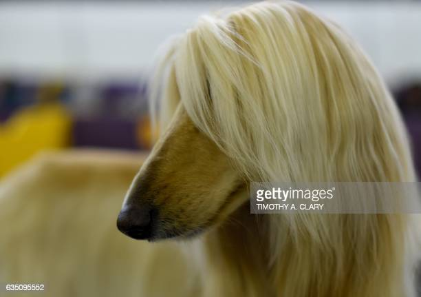An Afghan is seen in the benching area during Day One of competition at the Westminster Kennel Club 141st Annual Dog Show in New York on February 13...