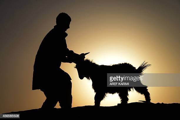 An Afghan man leads a goat ahead of the sacrificial Eid alAdha festival at the animal market during sunset on the outskirts of Herat on October 2...