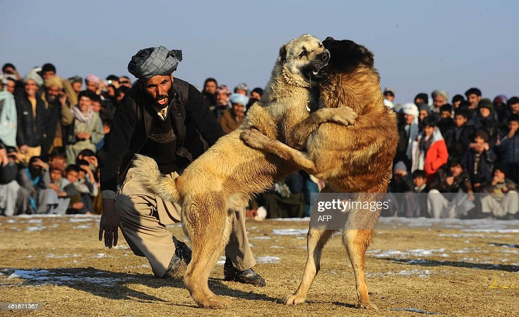 An Afghan man screams at his dog during a dog fight on the outskirts of Herat on January 9, 2014. Over a third of Afghans are living in abject poverty, as those in power are more concerned about addressing their vested interests rather than the basic needs of the population, a UN report said. AFP PHOTO/Aref Karimi