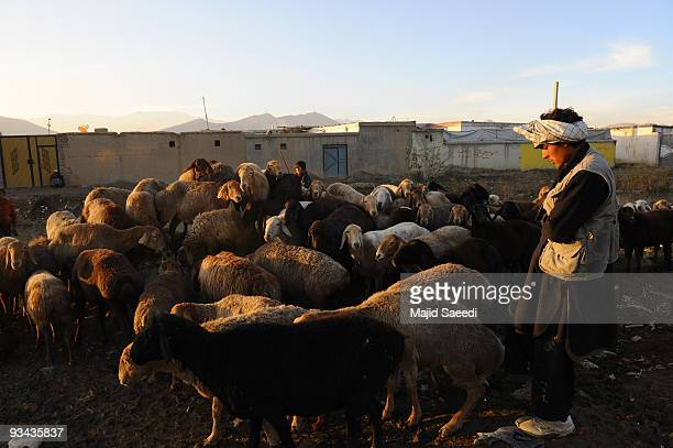 An Afghan man tends a flock of sheep at the animal market ahead of the Muslim feast of Eid alAdha on November 26 2009 in Kabul Afghanistan The...