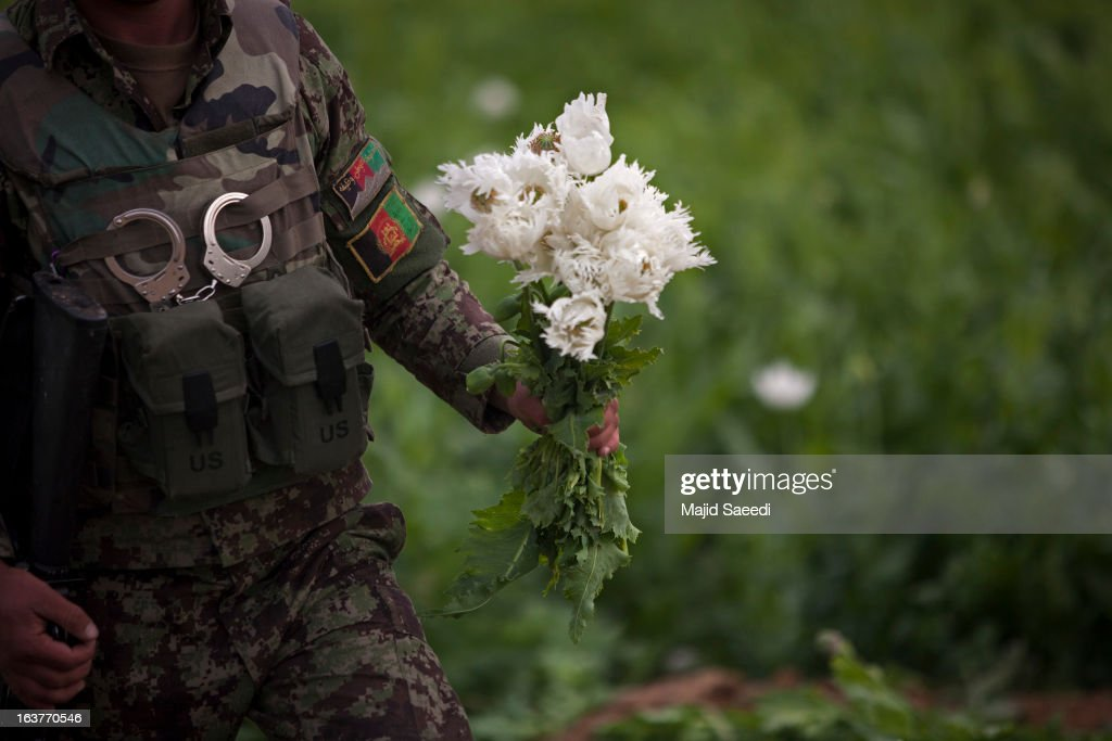 An Afghan policeman holds a bouquet of opium plants as they destroy the crop, on a farm on March 14, 2013, in Babaji village-Helmand Province ,south east Afghanistan. Most of the opium is chemically processed to produce herion, which ends up heading to either Iran, Russia and/or Europe. According to United Nations report, in 2012 there was an increase of 18 percent in cultivation of opium in Afghanistan; the world's largest source of the crop.