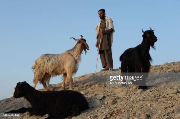 An Afghan vendor waits for customers at a livestock market ahead of the Eid alAdha Muslim festival on the outskirts of Jalalabad on August 29 2017...