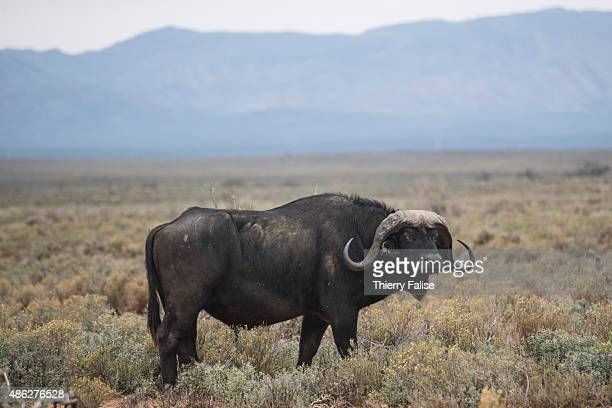 An African buffalo walks in the Inverdoorn Game Reserve Stretching across 10 000 hectares Inverdoorn is one of the largest private wildlife reserves...