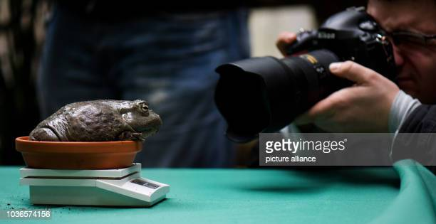 An African bullfrog is weighed during the annual inventory at the zoo in Dresden Germany 09 January 2013 Photo ARNO BURGI | usage worldwide