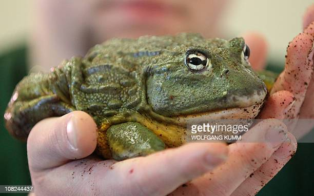 An African bullfrog sits in the hands of its owner at the agriculture fair Green Week at the exhibition centre in Berlin January 22 2011 Some 1200...