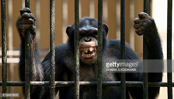 An African chimpanzee grimaces in a cage at a zoo in Dehiwala near Colombo on March 3 on World Wildlife Day AFP PHOTO/ Ishara S KODIKARA / AFP /...