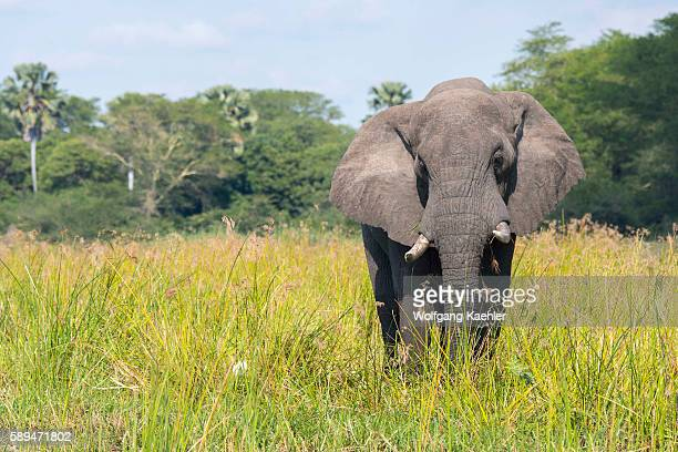 An African elephant bull on the shore of the Shire River in Liwonde National Park Malawi