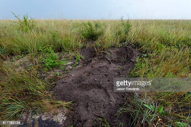 An African Elephant digs soil to replace roots and tubers to eat.