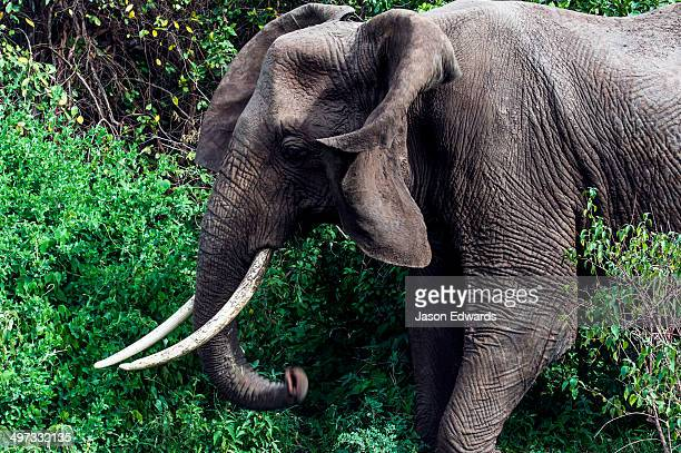 An African Elephant feeding on foliage in an evergreen forest clearing flaps his ears.