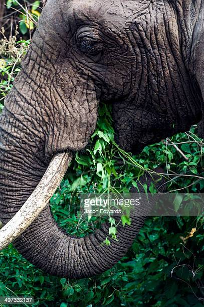 An African Elephant feeding on foliage in an evergreen forest clearing.