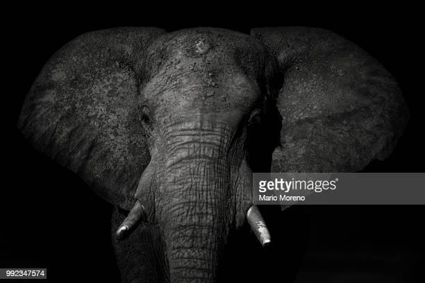 an african elephant in chobe national park, botswana. - elefante foto e immagini stock