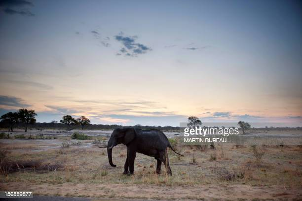 An African elephant is pictured on November 19 in Hwange National Park in Zimbabwe AFP PHOTO MARTIN BUREAU