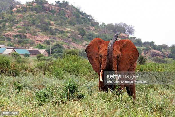 An African Elephant is seen at the Tsavo National Park on February 22 2010 in Kenya