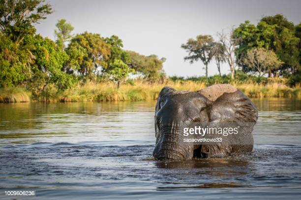an african elephant swims in the river - safari animals stock pictures, royalty-free photos & images
