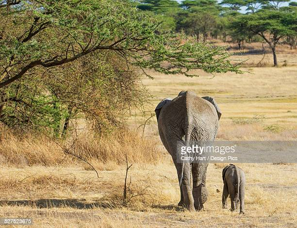 An African Elephant with it's young