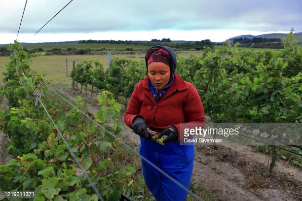 An African farm worker from the Xhosa tribe, her face painted with traditional Ochre clay. Harvests Chardonnay grapes at the Iona Wine Farm, which...