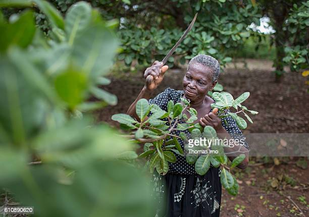An African farmer chops branches with a machete on her cashew farm in Congo on September 06 2016 in Congo Ghana