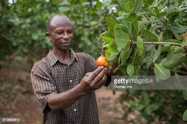 An African farmer examines a cashew plant in the Cashew Research Station in Wenchi on September 06 2016 in Wenchi Ghana