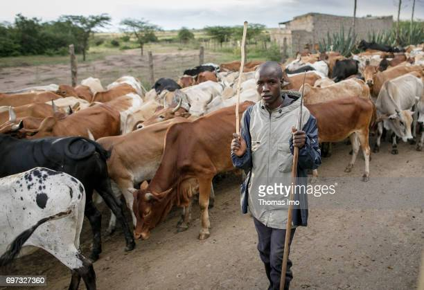 An African farmer is driving his cattle herd over a country road on May 17 2017 in Talek Kenya