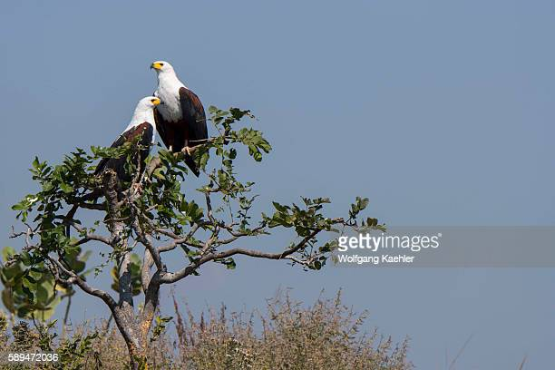 An African fish eagle couple is sitting on a branch of a tree along the Shire River in Liwonde National Park Malawi