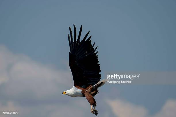 An African fish eagle in flight over the Shire River in Liwonde National Park Malawi