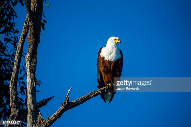 An African Fish Eagle roosting in a tree.