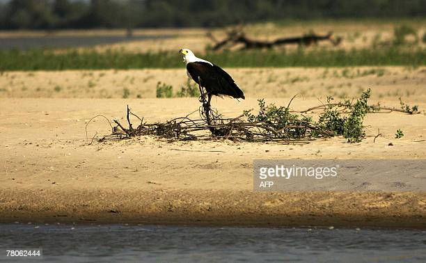 an African Fish Eagle scans the area next to the waters of the Rufiji river at Selous Game Reserve in southern Tanzania 02 September 2007 The Selous...