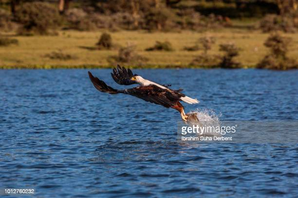 An African Fish Eagle That Has Just Dived In The Lake Nakuru to Hunt