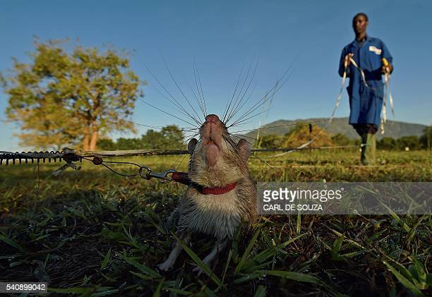 An African giant pouched rat sniffs for traces of landmine explosives at APOPO's training facility in Morogoro on June 17 2016 APOPO trains the rats...