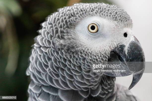 An African grey parrot in an aviary - Mexico City, Mexico