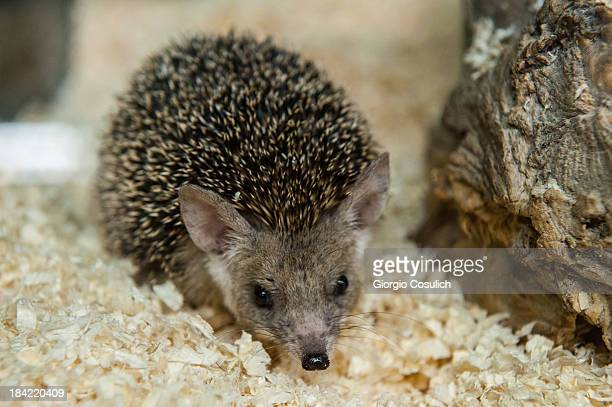 An African hedgehog is seen during the opening of the event 'Getting in touch with nature' in the new educational area at the Bioparco on October 12...