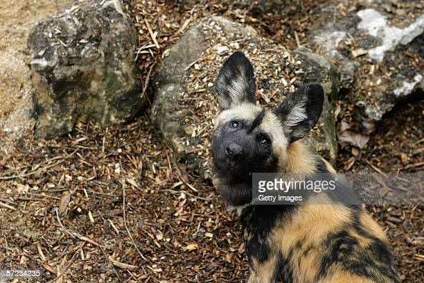 An African hunting dog looks upwards at the launch of the art exhibit 'Into Africa' at London Zoo on April 2 2006 in London England The new visitor...