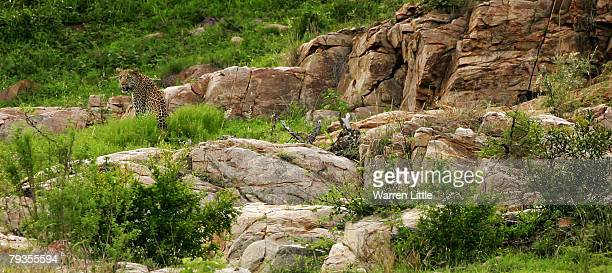 An African leopard pictured in the Kruger National Park on December 7 2007 in Mpumalanga South Africa