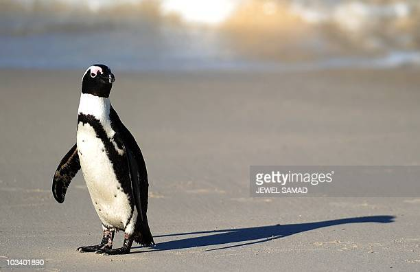 An African penguin also known as Blackfooted Penguin is pictured at Table Mountain National Park between Simon's Town and Cape Point near Cape Town...
