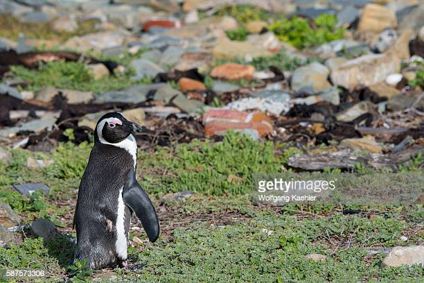 An African penguin also known as the jackass penguin and blackfooted penguin on Robben Island which is an island in Table Bay 69 km west of the coast...