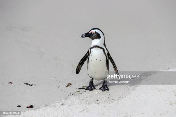 an african penguin at boulders beach, simon's town - western cape province stock pictures, royalty-free photos & images