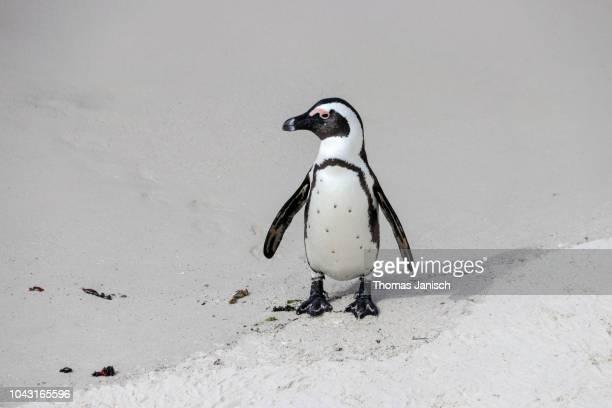 an african penguin at boulders beach, simon's town - província do cabo ocidental imagens e fotografias de stock
