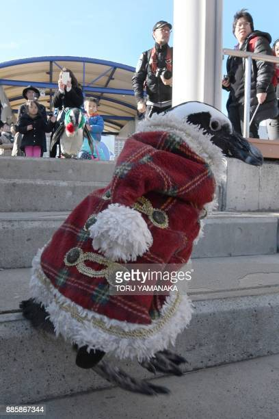 An African penguin clad in a Christmasthemed costume goes for a stroll at Hakkeijima Sea Paradise amusement park in Yokohama a suburb of Tokyo on...